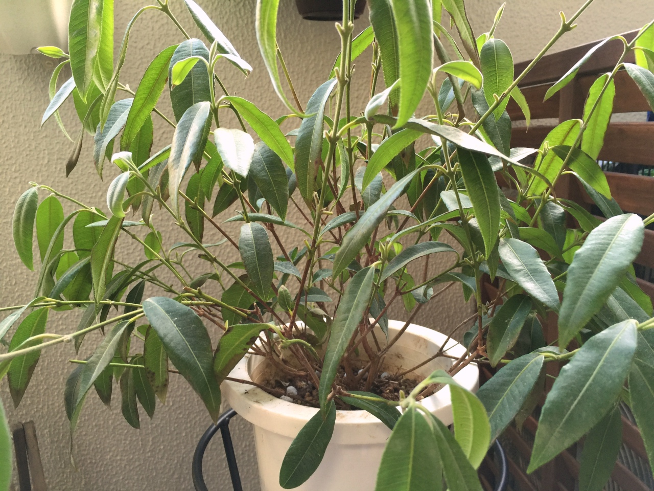 【レモンマートル】という木は水やりのちょっとしたコツで上手く育つ!
